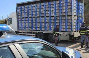 Trasporto di animali vivi, pesantissima multa nei confronti di un trasportatore