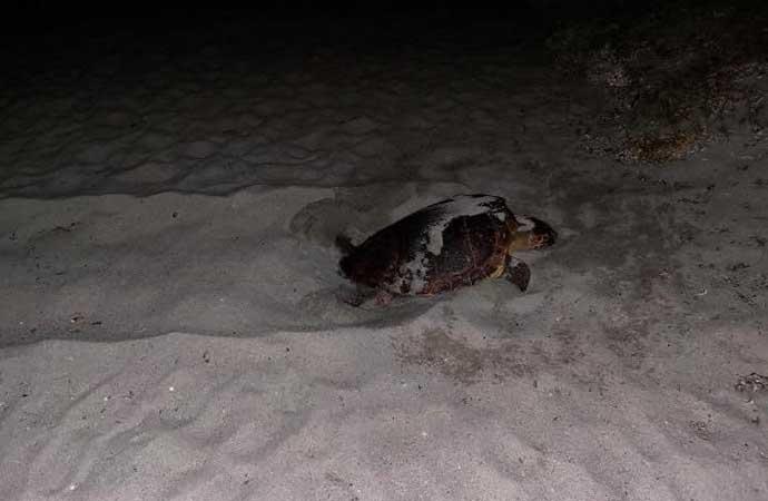 Una tartaruga sceglie il lido di Cea per deporre le uova: è il quarto nido scoperto recentemente in Sardegna